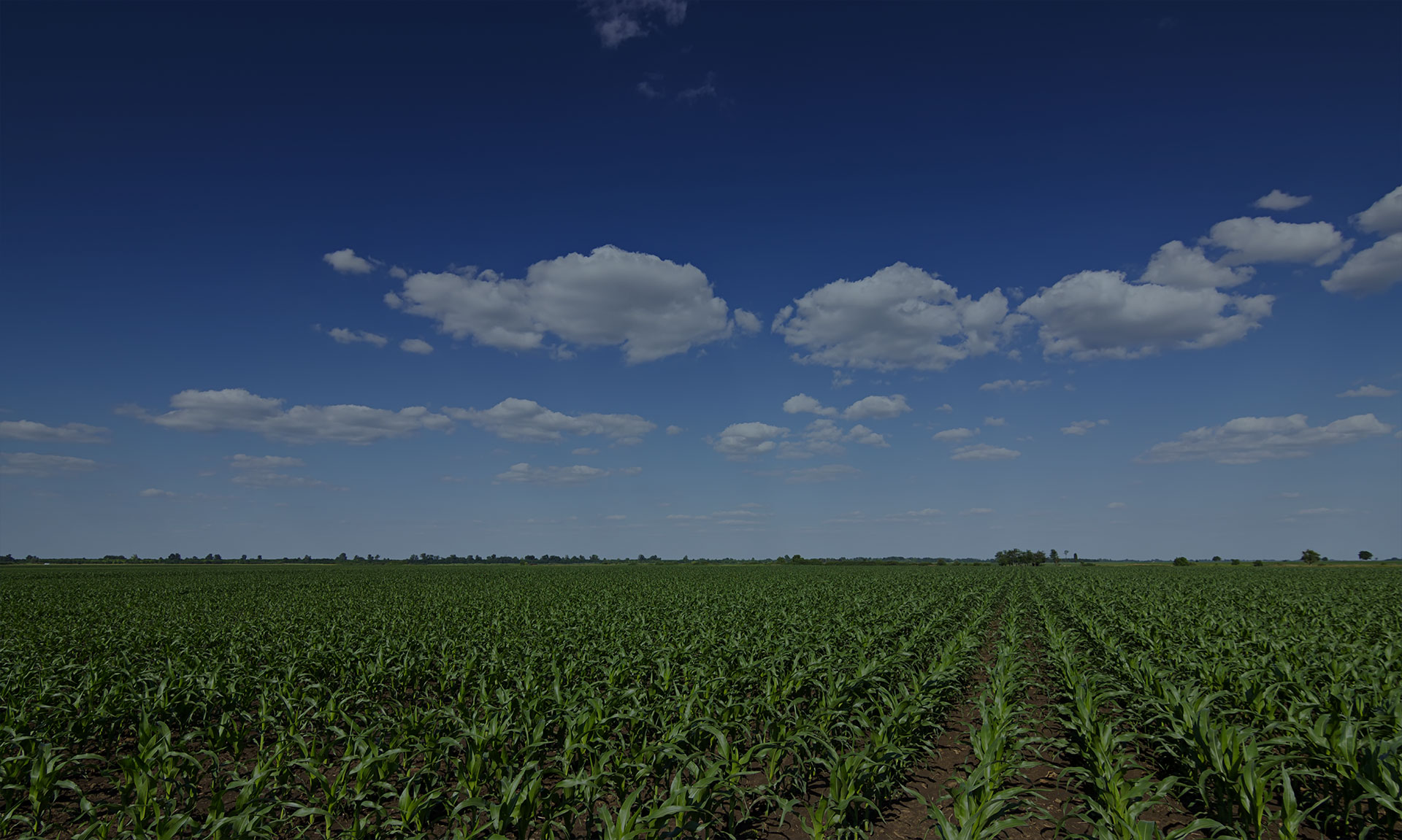 healthy corn crop fields